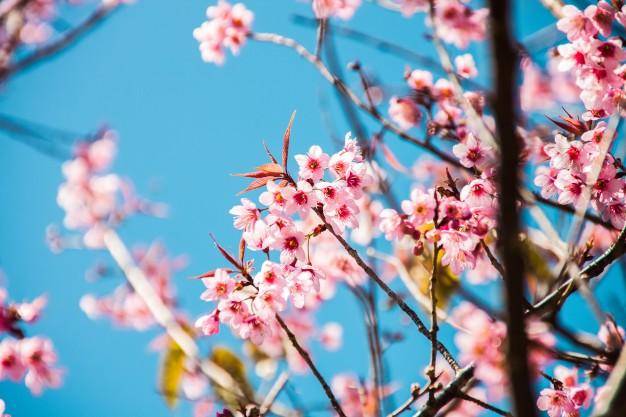 hermosa-cereza-japonesa-en-flor-sakura_1423-888