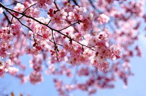 japanese_cherry_04